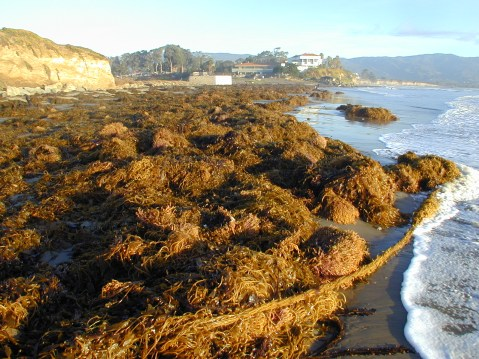 Kelp washed up on a beach after a strong El Niño. Photo courtesy of the SBC LTER.