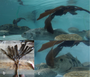 "Figure showing the experiments herbivory on reproductive tissue of the kelp Lessonia tabeculata by the herbivore ""jerguilla"", Aplodactylus punctatus: a) experimental mesocosms; b) delivered algae as food; c) indicates consumption and bites by adults jerguillas. Pictures from Catalina Ruz."