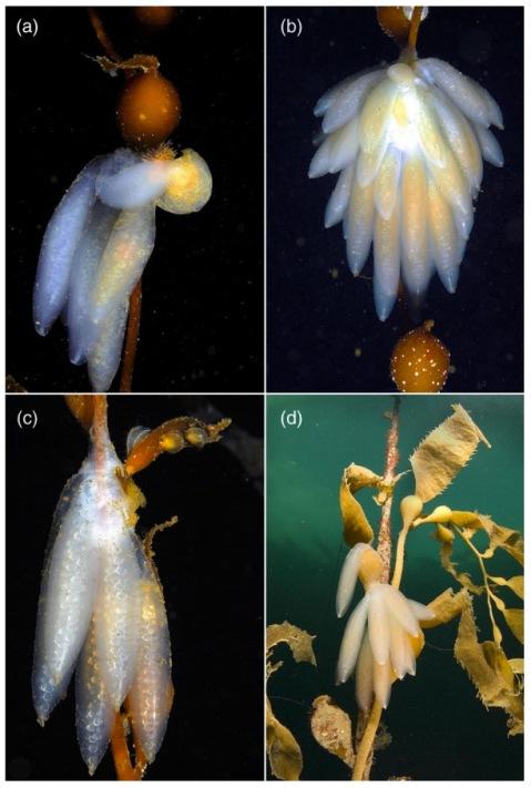 Squid eggs on kelp! From Rosenfeld et al.'s paper.